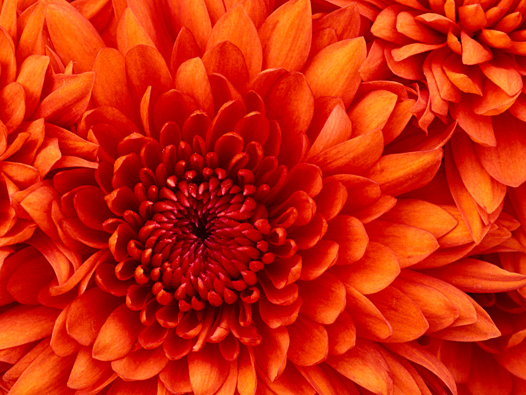 1569823041Chrysanthemum